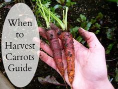 Great tips for growing carrots - When to Harvest Carrots Gardening Guide