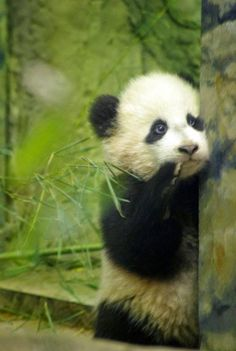 "Panda: ""I feel a little out of my depth in this large forest, unsure which direction Mom went off in..."""