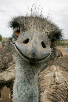An emu gets a bit friendly with the camera. | Cute animal pictures: 100 of the cutest animals!