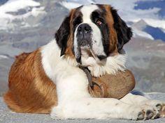 I got: Saint Bernard! What Dog Breed Are You?