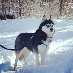 #Siberian #Husky ZIVA was #adopted from our #dogrescue in 2012. Here she is on vacation in Vermont enjoying the snow. PLEASE consider #adoption first-#adopt, don't shop! #Adoption saves precious lives.