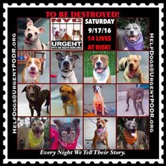 14 BEAUTIFUL LIVES TO BE DESTROYED 09/17/16 6 @ NYC ACC. ***SO MANY DOGS HAVE…