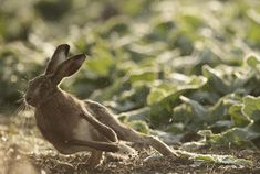 Brown Hare, Suffolk, photographed by Michael Rae