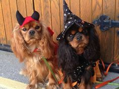 Happy Halloween! Cavalier King Charles Spaniels