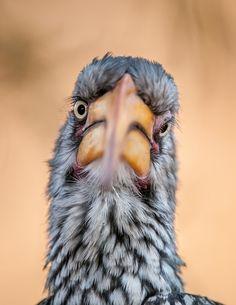 Southern Yellow Hornbill Portrait