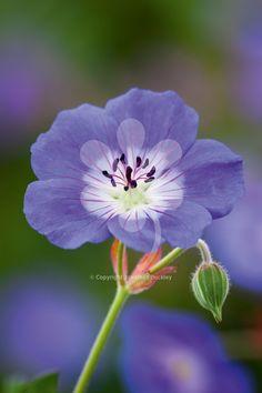 Geranium 'Rozanne' Geranium 'Rozanne' More - Perennial Geranium, Hardy Geranium, Geranium Pratense, Blue Geranium, Purple Perennials, Hardy Perennials, Purple Flowers, Beautiful Flowers, Nature Photography