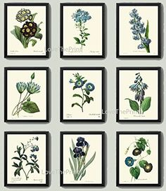 Botanical Print Set of 9 Antique Beautiful Redoute Blue Flowers Iris Water Lily Plumbaqgo Primula Gentian Butterfly Plants French Garden Nature Home Room Decor Wall Art Unframed. Beautiful set of 9 prints based on antique botanical illustrations from 1802. Wonderful details, colors and natural history feel. • The prints measure 4x6, 5x7, 8x10, or 11x14 inch. based on your selection come with a white border for easy framing. • Printed on professional artist archival matte paper. • The…