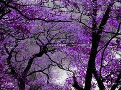 I knew nothing about this tree.would love a yard full. jacaranda The most beautiful flowering tree ever. The streets of my childhood are lined with these elegant trees.and in a gentle wind.purple rain indeed. Purple Love, All Things Purple, Purple Rain, Shades Of Purple, Purple Lilac, Purple Trees, Lilac Tree, Purple Flowers, Stock Foto