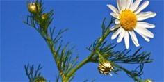 Matricaria chamomilla - heřmánek pravý