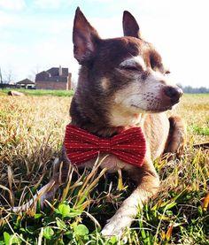 Sun. Grass. A bow tie. What more do you need?  Repost @jeanschex  Even country dog looks good in a bow tie  #dogsinbowties #bowtie #dogbowtie #dapperdog #brooklyn #handmade #shopsmall #brooklynbowtied #madeinbrooklyn #rescuedog #adoptdontshop #etsy #dogsofbrooklyn #dogsofinstagram #etsygifts #barkbox #calledtobecreative #marthastewartpets #ohwowyes #dogsinbetween #ruffpost #pawpack #pawstruck #barkpack #bestwoof #dogsofinstaworld #houndsbazaar #creativelifehappylife by brooklynbowtied