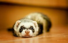 Ferret.  Aww, I miss my Molly.  She was a sweet little thing :)