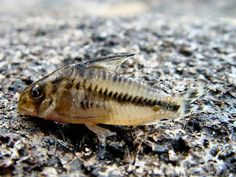 Corydoras boesemani Tropical Aquarium, Tropical Fish, Betta Fish, Fish Fish, Cory Catfish, Plecostomus, Freshwater Aquarium Fish, African Cichlids, Colorful Fish