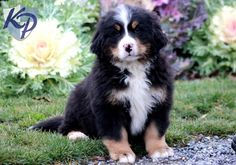 Tango – Bernese Mountain Dog Puppies for Sale in PA | Keystone Puppies
