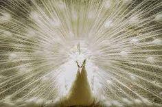 Resultado de imagem para imagens de pavão branco