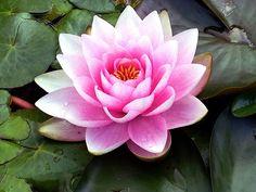 Waterlily by Linda Naiman