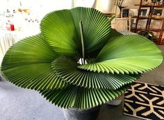 Unusual Plants, Rare Plants, Exotic Plants, Cool Plants, Cool Indoor Plants, Indoor Tropical Plants, Tropical Landscaping, Trees To Plant, Plant Leaves