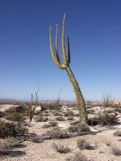 Cirio cactus, Cataviña, Baja California, Mexico.