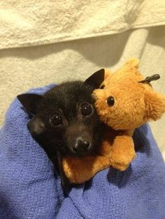 Baby Bats and Buddies of Australia (flying foxes) they look like my dog bean Cute Funny Animals, Cute Baby Animals, Animals And Pets, Cute Creatures, Beautiful Creatures, Animals Beautiful, Murcielago Animal, Cute Bat, Cute Baby Bats