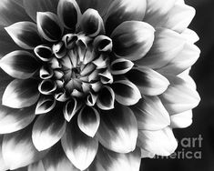 Mad About You - photograph by Kathi Mirto. Fine art prints and posters for sale.  #kathimirto #blackandwhitephotography #floralphotography