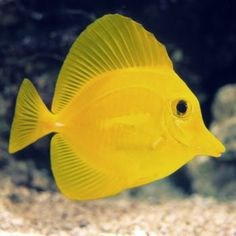 Yellow Tang Large