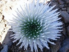 DSCN4087.jpg rare cactus that flowers once for one day in twenty years image by gardenridge
