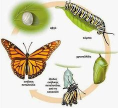 Here in this article, you will see Monarch Butterfly Facts, Habitat, Life Cycle and images. The Monarch Butterfly most beautiful butterfly in the world. Butterfly Crafts, Monarch Butterfly, Butterfly Chrysalis, Preschool Science, Science Activities, Science Education, Legend Symbol, Butterfly Migration, Monarch Caterpillar