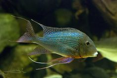 """Geophagus Altifrons : ~12"""", Amazon  If I can't find an Orange Head, I want these guys :) Cichlid Aquarium, Aquarium Set, Cichlid Fish, Tropical Fish Aquarium, Home Aquarium, Freshwater Aquarium Fish, Fish Aquariums, South American Cichlids, Monster Fishing"""