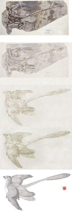 Microraptor reconstruction by Mick Ellison