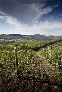 Tuscan Vineyard - Castellina in Chianti, Italy