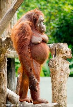 asked my pregnant wife how she felt, she sent this back to me I asked my pregnant wife how she felt, she sent this back to me.I asked my pregnant wife how she felt, she sent this back to me. Ugly Animals, Rare Animals, Cute Baby Animals, Animals And Pets, Funny Pictures Tumblr, Weird Pictures, Animal Pictures, Tier Fotos, Animal Photography