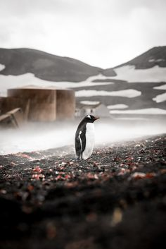 Gentoo penguins have been known to make as many as 450 dives in one day to forage for food. Travel Around The World, Around The Worlds, Gentoo Penguin, Emperor Penguin, Cute Penguins, Sea Birds, Antarctica, Spirit Animal, Adventure Travel