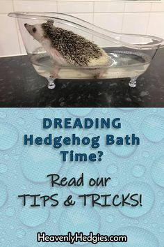 Giving your hedgehog a bath can be such a chore when they fight it! Read our tips & tricks to make it a better experience for you both . Hedgehog Bath, Cute Hedgehog, Pygmy Hedgehog, Hedgehogs Pet Care, Baby Hedgehogs, Cat Care Tips, Pet Tips, Dog Care, Cottage