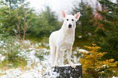 Berger blanc suisse. By Mattphoto.