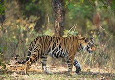 My experience Searching for Tigers in Bandhavgarh National Park in India and the chance to name a tiger in the park!
