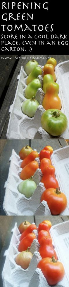 Ripening Tomatoes from FreshBitesDaily.com