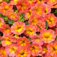 Proven Winners® Calibrachoa Superbells® Coral Sun, like all Calibrachoa's do not like to have constantly damp soil. They want good drainage and dryer soils, which makes them the perfect flower for containers! Pre-order your 4.25 inch plants today, just click on our bio link to order. #calibrachoasuperbells #calibrachoasuperbellscoralsun #provenwinners #calibrachoa #superbells #gardenanswers #mygardenanswers #thegardenshop Orange Flowers, Colorful Flowers, Beautiful Flowers, Pink Plant, Yellow Plants, Proven Winners, Plant Identification, Plant Needs, Types Of Plants