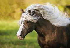 Black Forest Horse stallion / Schwarzwälder Fuchs, stallion, liver chestnut, Gabriele Boiselle