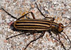 Meloidae(blister beetles) order Coleoptera: produce acidic defense mechanism that frightens predators and gives humans painful sores, have cylindrical pronotum, filiform antennae