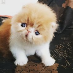 Persians and exotic kitties Male bicolor red  https://instagram.com/p/5mFhM3Ewsa/