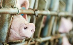 Traffic Accident Turns Deadly for Pigs En Route to Slaughterhouse in Brazil