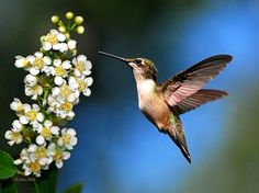 Ruby Throated Hummingbird flying with white flowers on blue green background. One beauty looking at another frozen in time. 8x10 Hummingbird