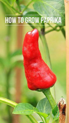 15 Samen Paprika Pflanze Mini Snack Snacking Red F1