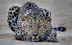 Intense green gaze...