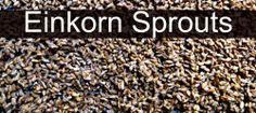 Einkorn Sprouts