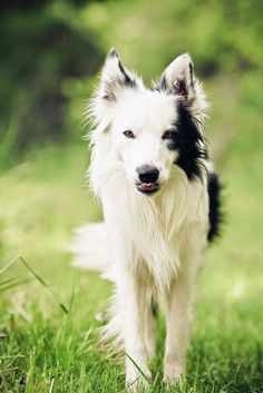 Top 10 Healthiest Dog Breeds..Love my border collies!