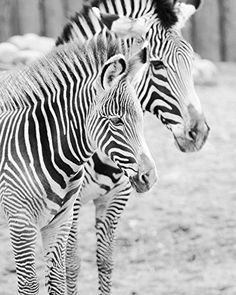 Zebras photo print, animal picture, black and white photography, paper print or canvas, B&W art picture, 5x7 to 30x45 inches, large wall décor. Zebras photo print; animal photography, zebra picture, black and white art. Available in sizes from 5x7 to 30x45 inches, on either a premium photo paper or on a ready to hang canvas gallery wrap. Choose a desired paper or canvas size from the SELECT OPTIONS menu (located just above the Add to Cart button). Size marks will not appear on the print....