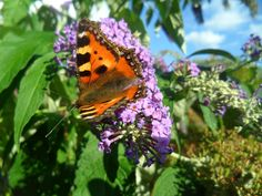 Pauline's Flowers - Butterfly on Buddleia - August 2013