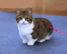 The Munchkin Cat is a relatively new breed of cat characterized by its very short legs, which are caused by a naturally occurring genetic mutation. Description from animalsplaces.blogspot.com. I searched for this on bing.com/images