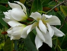 Michelia Excelsa Tree, The Temple Magnolia Doltsopa 10 Seeds, Very Fragrant Evergreen Bamboo Seeds, Orchid Tree, Seed Germination, Evergreen Trees, Garden Seeds, Flowering Trees, Mistletoe, Shrubs, House Plants