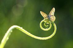 Lær mig du lette sommerfugl, at sønderbryde tunge skjul, som nu min frihed tvinger! En orm jeg kryber end på jord, snart flyver højt med lette flor de gyldne purpur vinger.